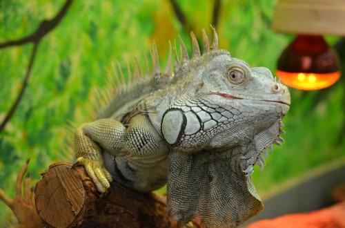iguana-1700697_1920